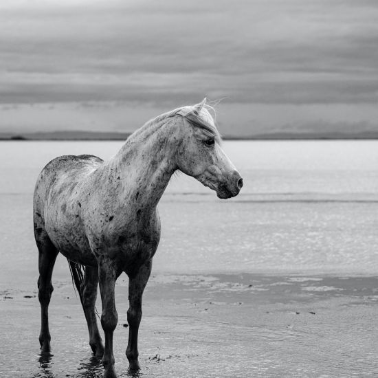 Horse  of Camargue