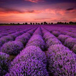 Sunrise Lavender Fields