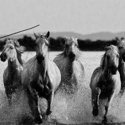 Herd of Galloping horses