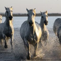 Horses galloping  in Camargue