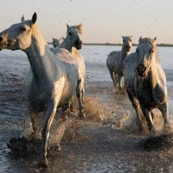 Marsh horses Galloping