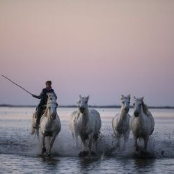 Galloping Horses of Camargue